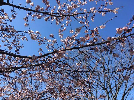 名古屋城桜1.JPG