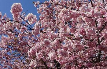 河津桜祭り2.jpg