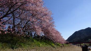 河津桜祭り3.jpg