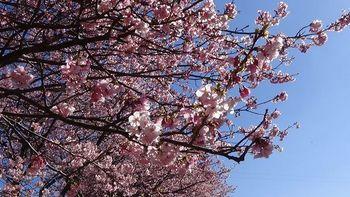 河津桜祭り5.jpg