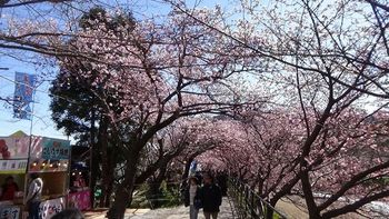 河津桜祭り6.jpg