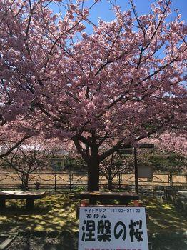 涅槃の桜.jpg