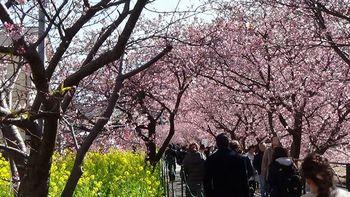 河津桜祭り1.jpg