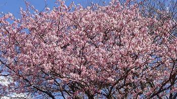 河津桜祭り4.jpg