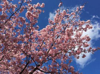 河津桜祭り7.jpg